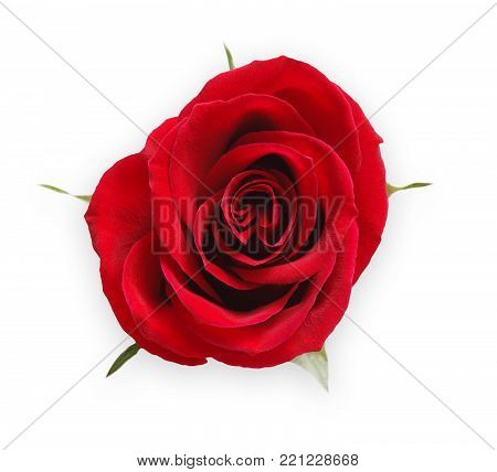 Red rose flower closeup isolated on white background, top view. Scarlet red bud as passion symbol. Floristic art, valentine day, love and romance concept
