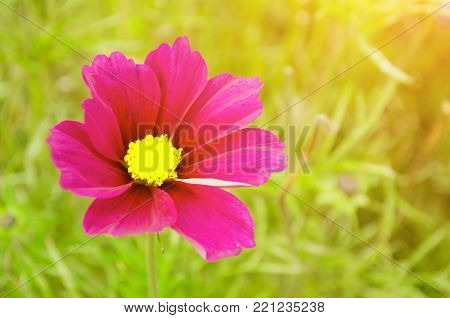 Pink cosmos summer flower - in Latin Cosmos Bipinnatus - in the summer meadow. Summer flower background. Selective focus at the cosmos flower. Summer flower view with cosmoc flower blooming in the meadow