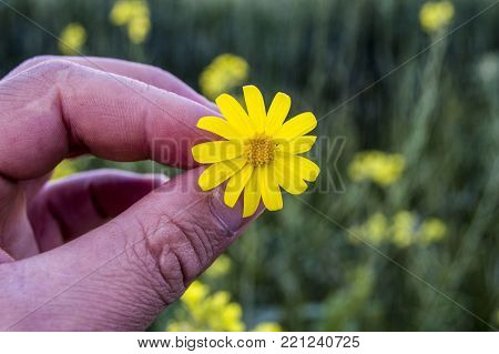 daisies, yellow daisy daisy flower varieties pictures.