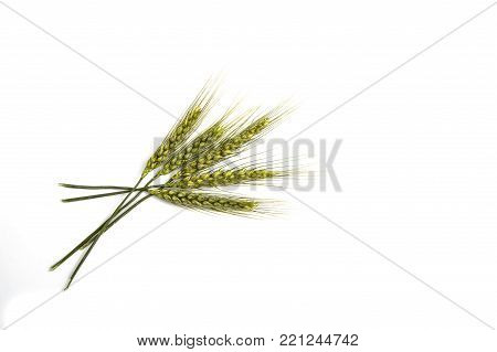 green wheat spike, green raw wheat spike pictures on white ground, green ears of wheat green ears of wheat crude pictures on a white background,