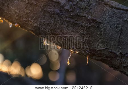 View of rosin of a tree branch