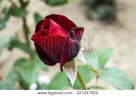 red rose buds, red rose buds ready to open, most beautiful rose buds