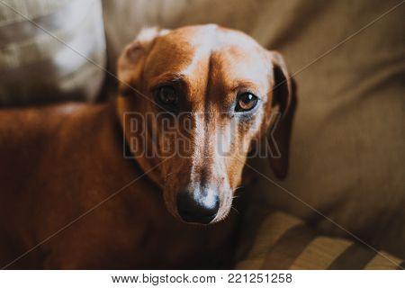 Dachshund teckel dog pet cute indoor sleepy