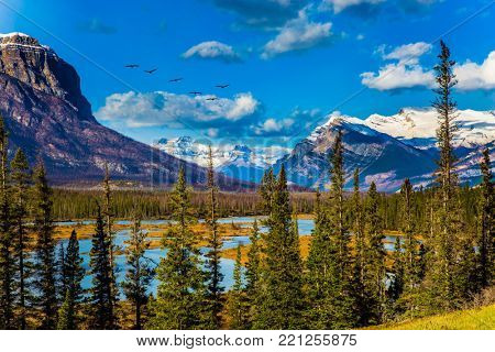 Flock of migratory birds fly over the Rocky Mountains. Warm September. On the shores of the Abraham lake there are autumn forests. Concept of ecological and active tourism