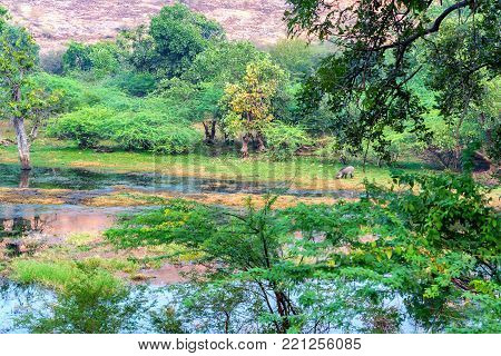 Scenic view of marshland landscape with wild boar grazing in Ranthambore national park, Rajastan, India.