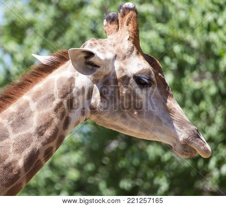 portrait of giraffe on nature . In the park in nature