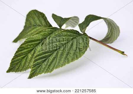 Green fresh raspberry leaves close up, isolated on a white background