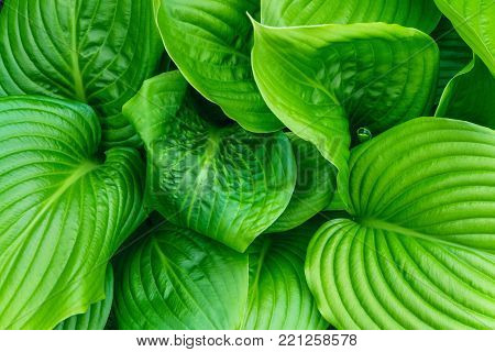 Beautiful Hosta leaves background. Hosta - an ornamental plant for landscaping park and garden design. Large lush green leaves with streaks. Veins of the leaf. poster