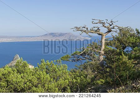 Dead relic pine on a mountain slope above the sea. Sunny summer day. Novyy Svet, Crimea.