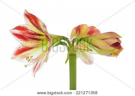 Amaryllis Sidney blossoms isolated on white background