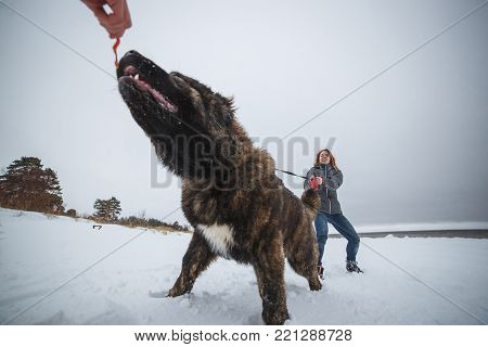 Master and her obedient Caucasian Shepherd dog playing in winter forest. Big dog and delicate girl in snow.