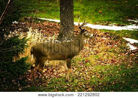 Beautiful whitetail deer buck Odocoileus, virginianus standing amongst autumn leaves with, facing right. Late autumn scene includes some snow on the ground.