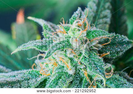 Detail of a Cannabis plant. Lemon OG marijuana strain. Huge indoor flower-head