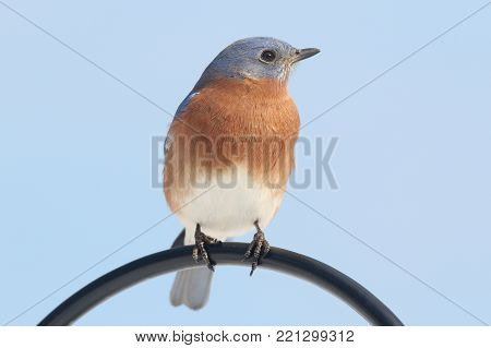 Male Eastern Bluebird (Sialia sialis) on a perch with a blue background