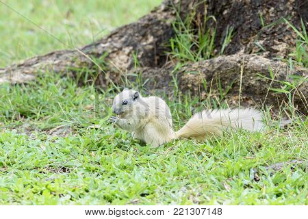 Cute little white Squirrel eating grasses , Thailand