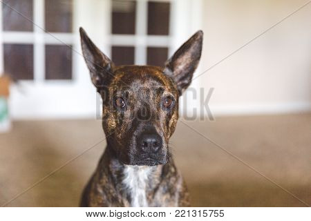 Pit bull or mixed-breed dog standing inside a home with ears perked.