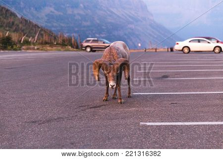 Large and intimidating bighorn sheep in a parking lot at Glacier National Park in Montana, USA.