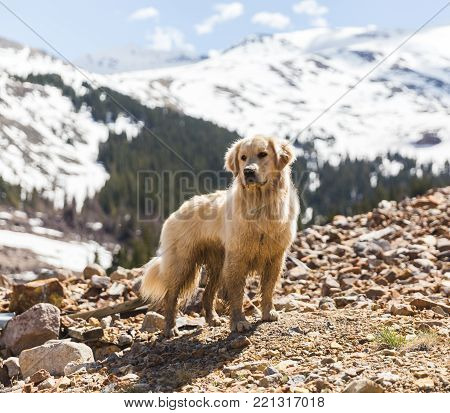 Labrador retriever dog standing in tall Colorado Mountains on a sunny day. Snow and forest in background.