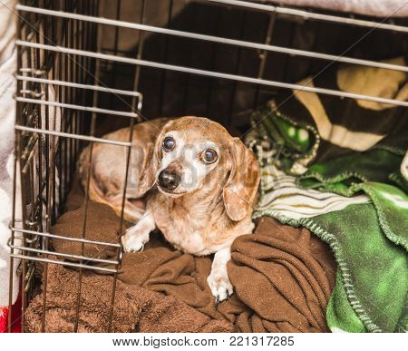 Elderly mixed-breed dog laying in a cage. Dachshund-chihuahua mix.