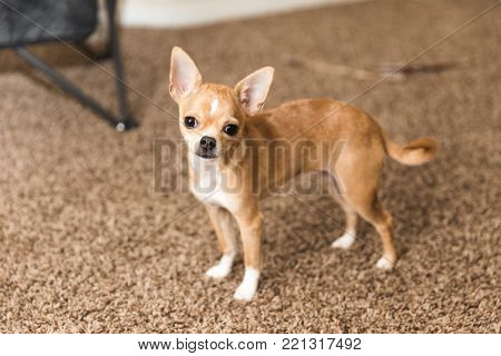 Innocent young chihuahua standing on carpet in a home.