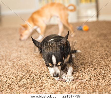 Black, white, and brown chihuahua dog chewing on a chew toy on carpet.