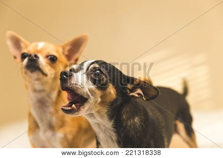 Two Excited Chihuahuas