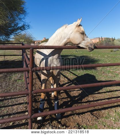 White horse standing next to a metal fence in a desert area.