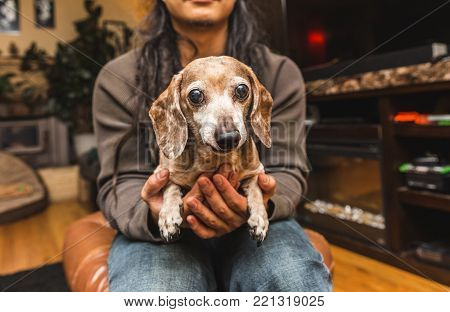 Elderly dachshund-chihuahua mixed-breed dog held by a person sitting in a living room.