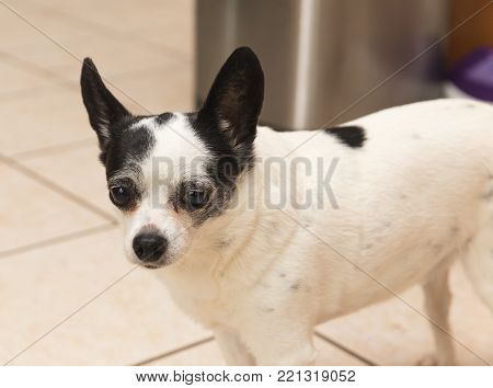 Old, chubby chihuahua with white and black fur.