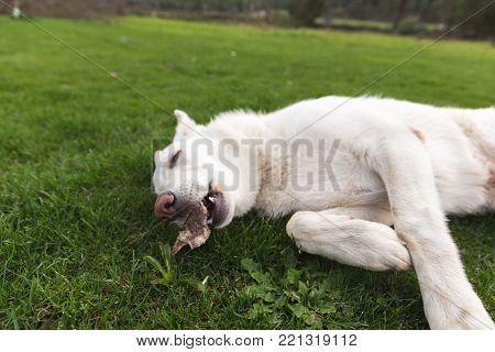 White shepherd puppy laying down on grass and chewing a bone.