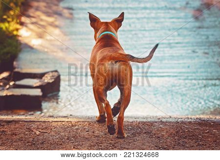 Beautiful photo of a dog playing outside running toward water toned with a retro vintage instagram matte filter