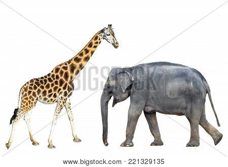 Elephant and giraffe isolated on white background. Elephant and giraffe standing full length. Zoo or safari animals isolated.