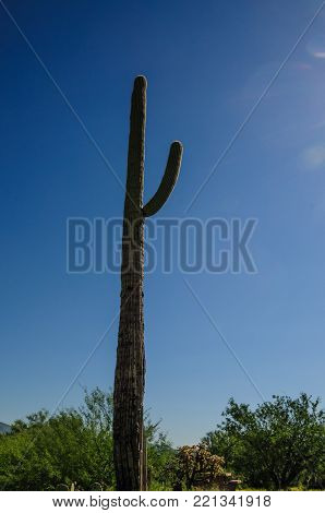 A Giant Saguaro, One Of The Largest Cacti In The World, In Saguaro National Park, Near Tucson Arizon