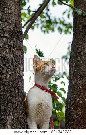 Cute White-and-red Cat In A Red Collar On The Tree. Cat Is Staring At Something