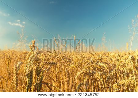 Green Cornfield With Irrigation System. Sunny Summer Day. Concept Of Natural Agriculture.