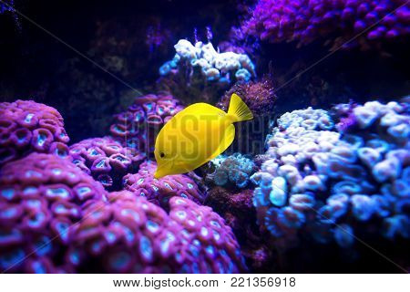 Beautiful yellow tang (Zebrasoma flavescens) fish on purple and pink reef background. Most popular saltwater aquarium fish.