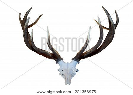 Horn and skull of a deer on a white background