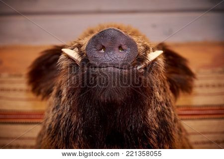 Snout of a wild boar with fangs