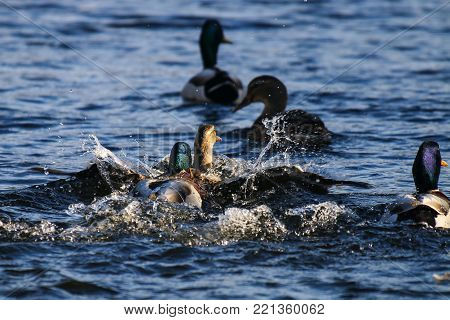 A pair of mallard ducks fighting over a female and attempting to mate with her
