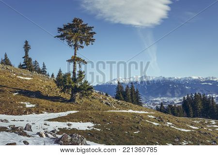 Serene alpine winter scenery with solitary coniferous tree and snow-capped Bucegi mountain range as seen from Zanoaga meadow up in Piatra Craiului National Park, Romania.
