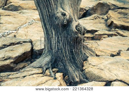 A dry tree root on a dry land.