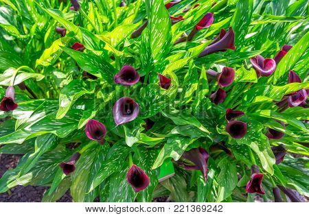 Beautiful black calla lily  or arum lily flowers with bright green leaves, growing in the garden