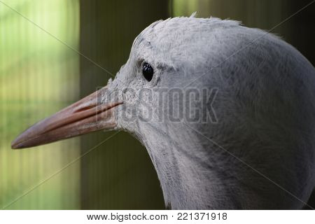 A close up portrait of a blue crane looking out of its cage