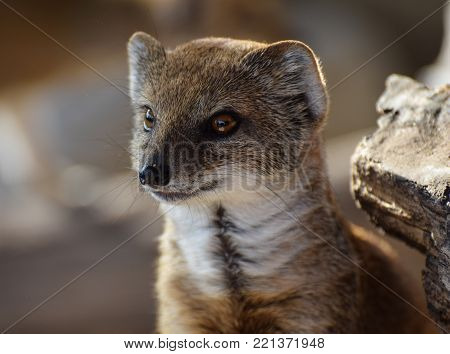 Owslebury, United Kingdom - November 02 2017:   A portrait of a Yellow Mongoose