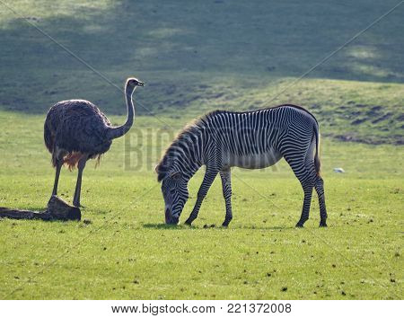 A Greater Rhea and a Grevys Zebra in a grassy field