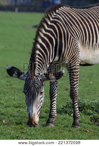 A portrait of a Grevys Zebra grazing on grass