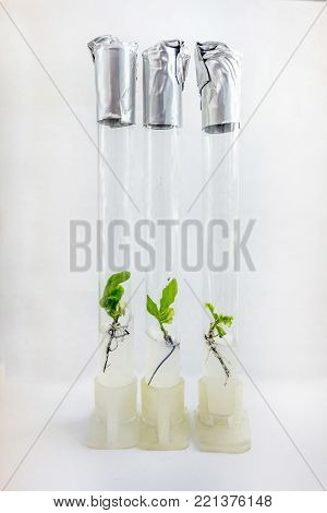 Microplants of cloned oak (Quercus Robur L) in test tubes with nutrient medium using micropropagation technology in vitro poster