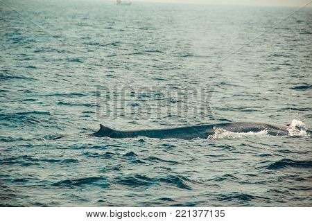 One Wild blue whale swimming in indian ocean. Wildlife nature background. Space for text. Adventure tourism. Travel tour. Mirissa, Sri Lanka. Exploration, expedition concept. Explore the world