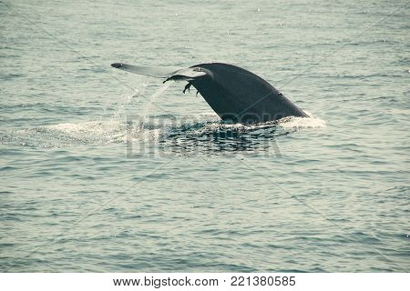 Massive dripping whale tail fin in indian ocean. Wildlife nature background. Adventure travel, tourism industry. Mirissa, Sri Lanka. Protection concept. Explore world. Tourist Attraction. Copy space