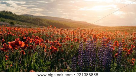 fantastic sunset.  flowering hills of poppy and lupin flowers, in the warm sunlight . picturesque scene. breathtaking, wonderful scenery. original creative image.  small depth of field